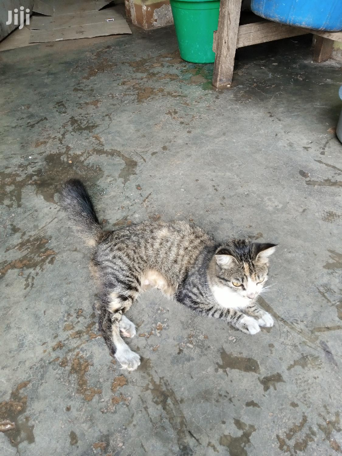 1+ year Female Mixed Breed Mongrel (No Breed) | Cats & Kittens for sale in Kampala, Central Region, Uganda