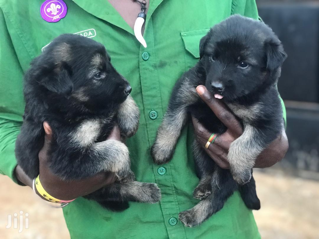 3-6 month Female Purebred German Shepherd | Dogs & Puppies for sale in Kampala, Central Region, Uganda