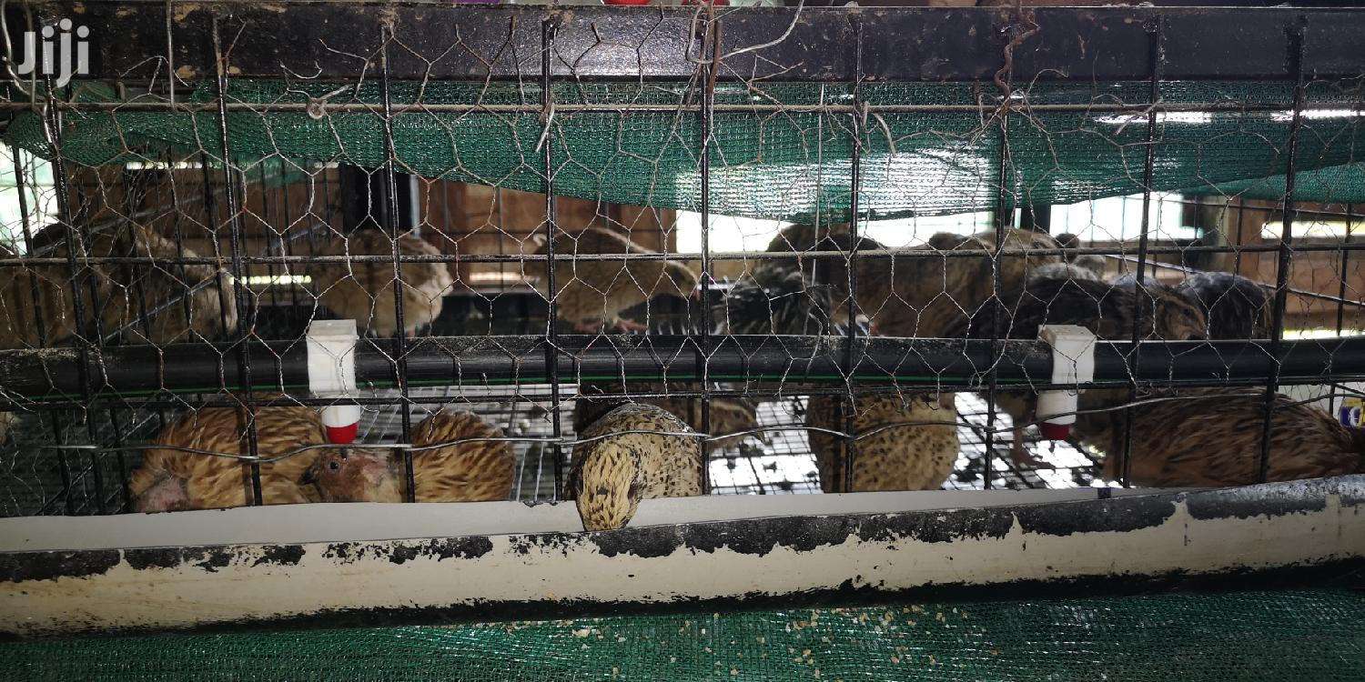 Archive: Quails For Sale Per Quail