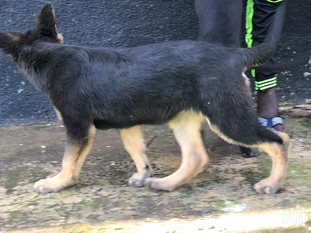 3-6 Month Male Mixed Breed German Shepherd