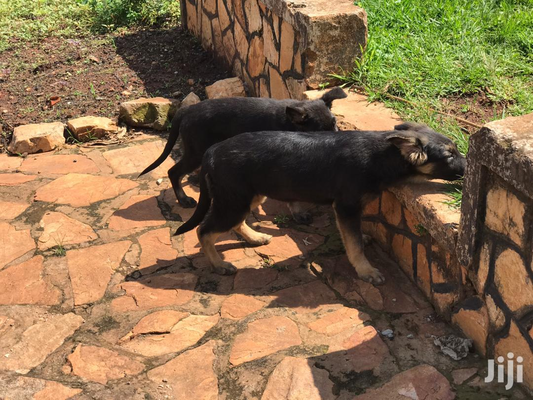 3-6 Month Male Mixed Breed German Shepherd | Dogs & Puppies for sale in Kampala, Central Region, Uganda