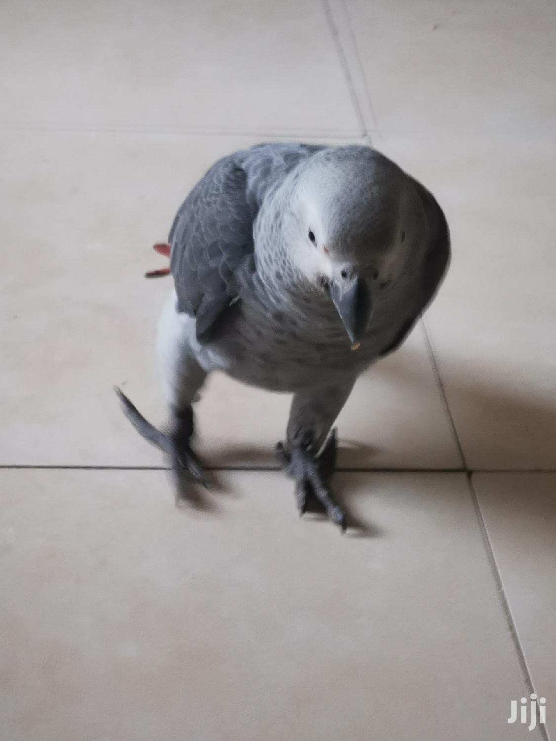 Archive: Greybirdparrot