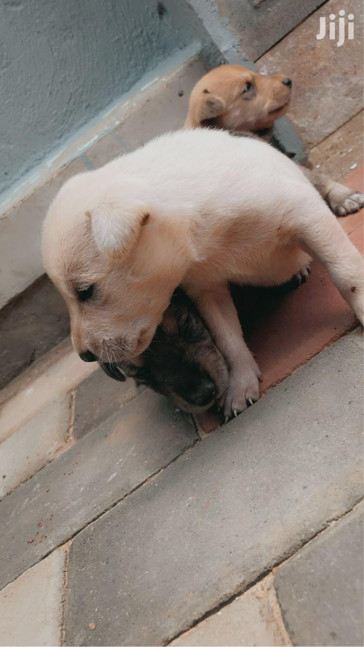 3-6 Month Male Purebred Labrador Retriever