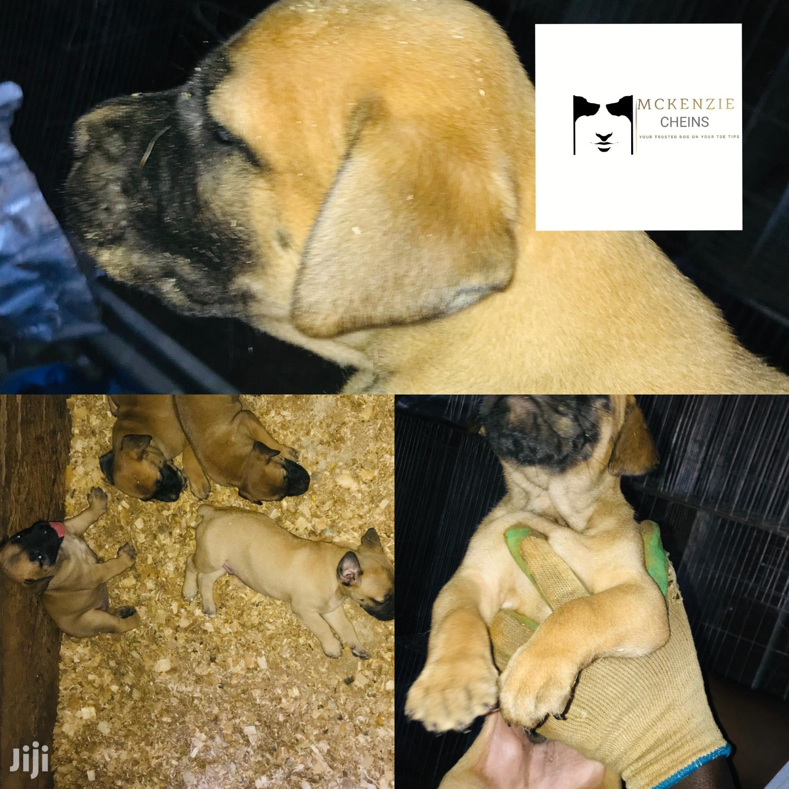 3-6 Month Male Purebred Boerboel   Dogs & Puppies for sale in Kampala, Central Region, Uganda