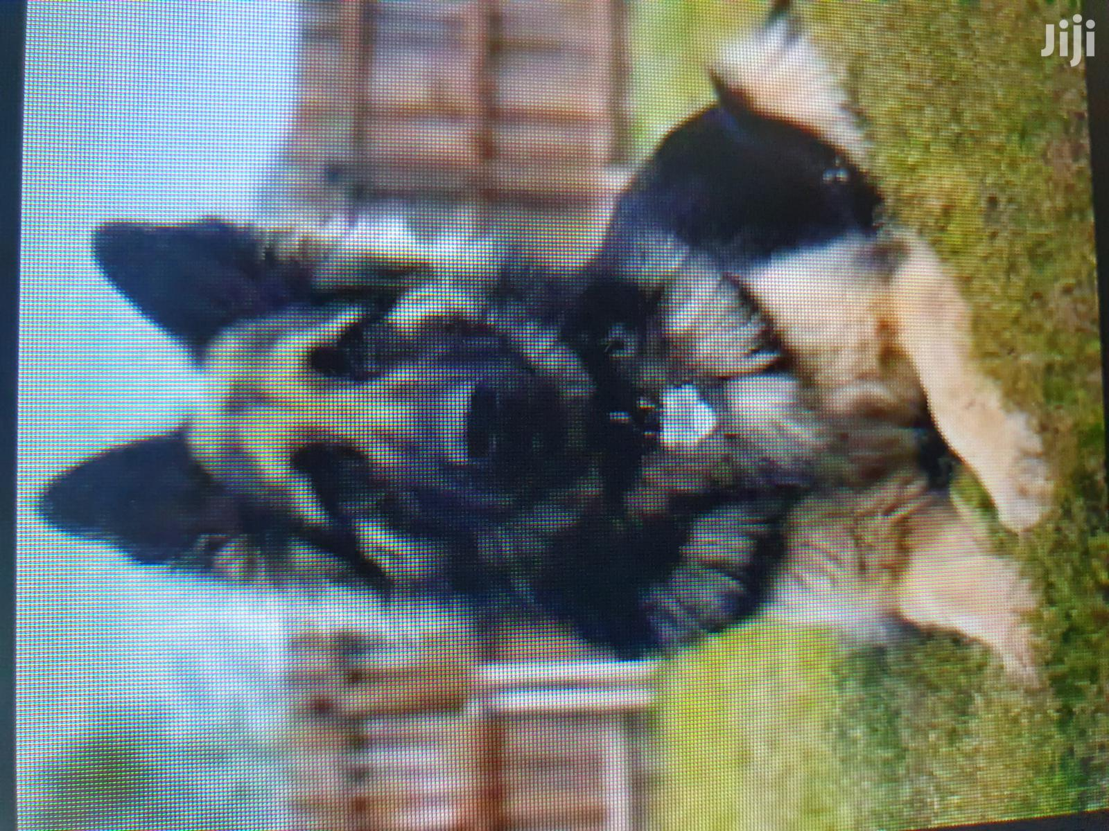 6-12 Month Male Purebred German Shepherd