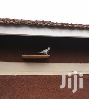 Pigeon World   Birds for sale in Central Region, Kampala