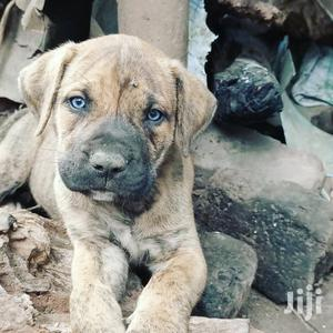 1-3 Month Male Purebred Boerboel   Dogs & Puppies for sale in Central Region, Kampala