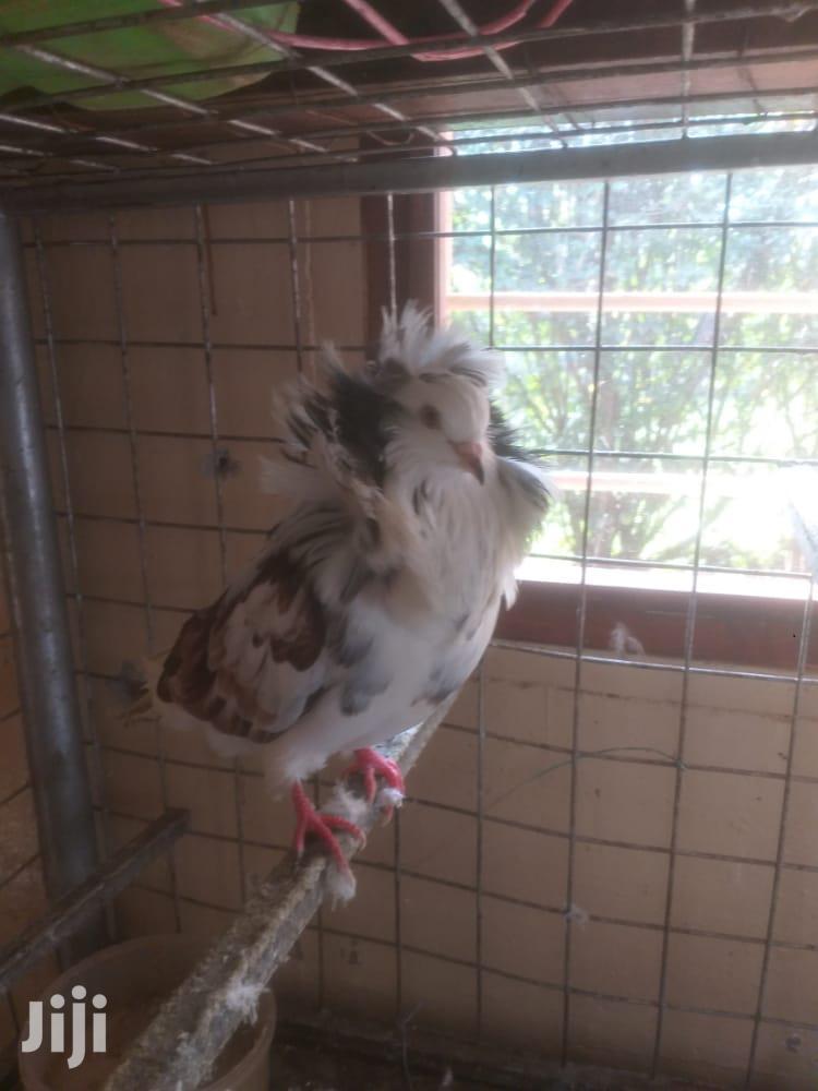 Lion Head Pigeons