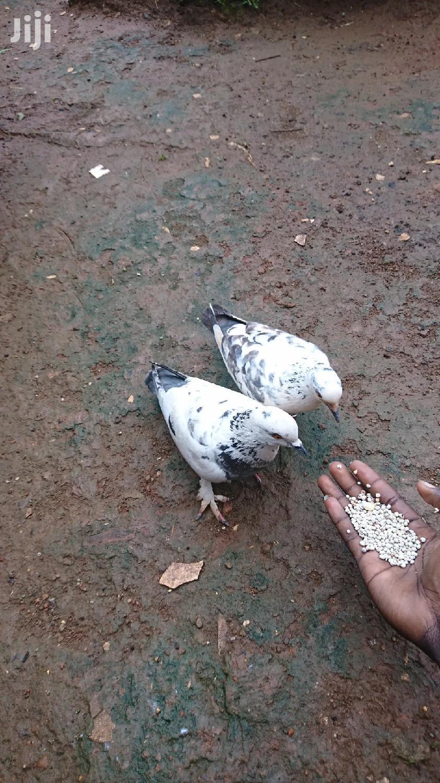 Pigeon Squabs | Birds for sale in Kampala, Central Region, Uganda