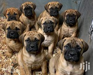 1-3 month Male Purebred Bullmastiff   Dogs & Puppies for sale in Central Region, Kampala