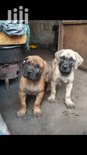 1-3 Month Female Purebred Boerboel | Dogs & Puppies for sale in Central Region, Kampala