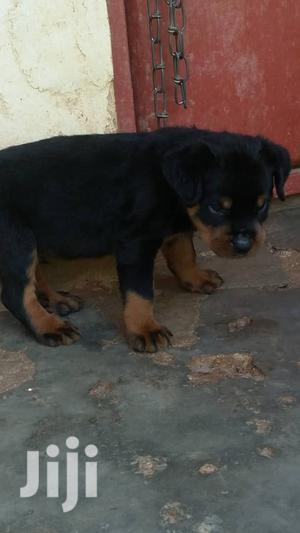 1-3 Month Female Purebred Rottweiler | Dogs & Puppies for sale in Central Region, Kampala
