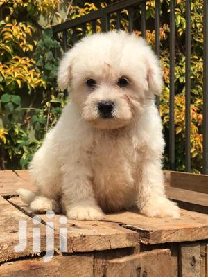 1-3 Month Male Purebred Maltese | Dogs & Puppies for sale in Central Region, Kampala