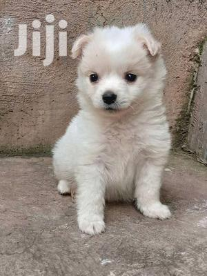 1-3 Month Female Purebred Japanese Spitz | Dogs & Puppies for sale in Central Region, Kampala