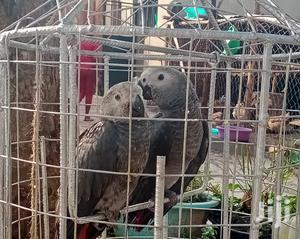 Parrots Grey   Birds for sale in Central Region, Wakiso
