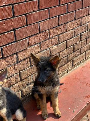 3-6 Month Male Purebred German Shepherd | Dogs & Puppies for sale in Eastern Region, Jinja