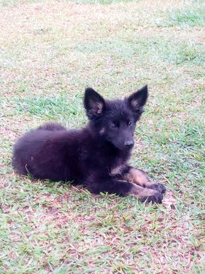 3-6 Month Female Purebred German Shepherd | Dogs & Puppies for sale in Central Region, Kampala