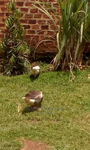 Mature Pair of Geese   Birds for sale in Central Region, Wakiso