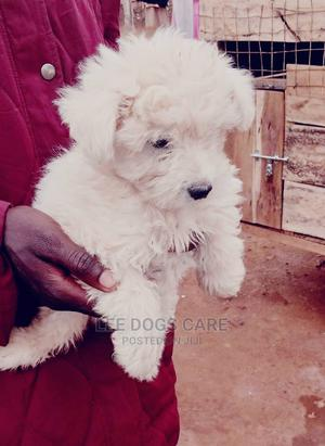 1-3 Month Female Purebred Maltese | Dogs & Puppies for sale in Central Region, Kampala