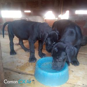 1-3 Month Male Purebred Great Dane | Dogs & Puppies for sale in Central Region, Kampala