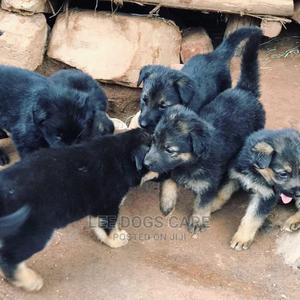 0-1 Month Female Purebred German Shepherd | Dogs & Puppies for sale in Central Region, Kampala