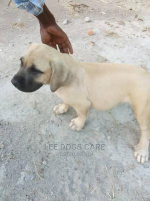 3-6 Month Female Purebred Boerboel | Dogs & Puppies for sale in Central Region, Kampala