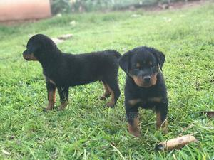 3-6 Month Female Purebred Rottweiler | Dogs & Puppies for sale in Central Region, Kampala