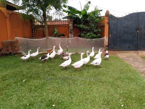 Goose Birds   Birds for sale in Central Region, Kampala