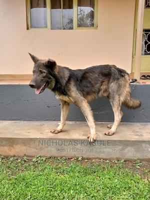 1+ year Male Purebred German Shepherd | Dogs & Puppies for sale in Central Region, Kampala
