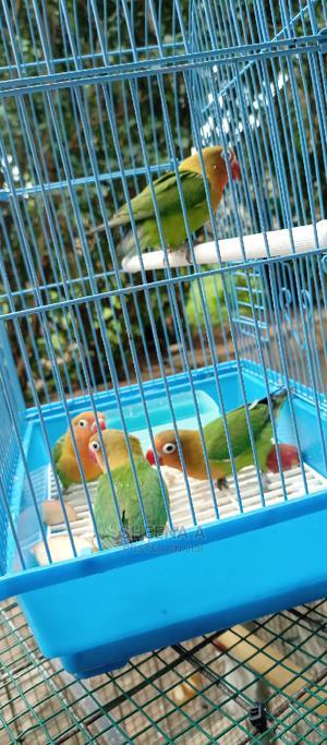 Love Birds on Sell   Birds for sale in Central Region, Kampala
