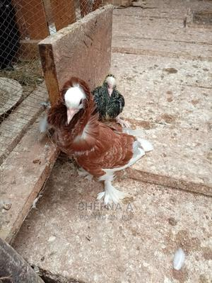 Exotic Pigeons   Birds for sale in Central Region, Kampala