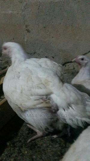 Broilers 1kg to 2.5   Birds for sale in Central Region, Kampala