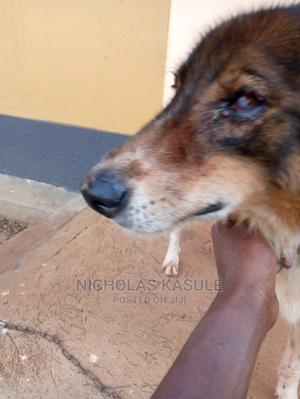 1+ Year Male Mixed Breed German Shepherd | Dogs & Puppies for sale in Central Region, Wakiso
