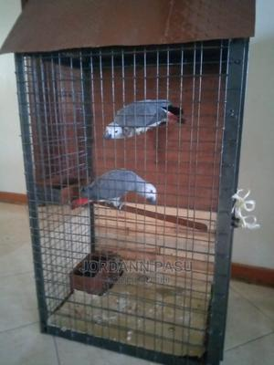 This Parrot Can Talk   Birds for sale in Central Region, Kampala