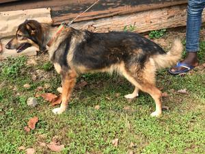 6-12 Month Female Purebred German Shepherd | Dogs & Puppies for sale in Central Region, Kampala