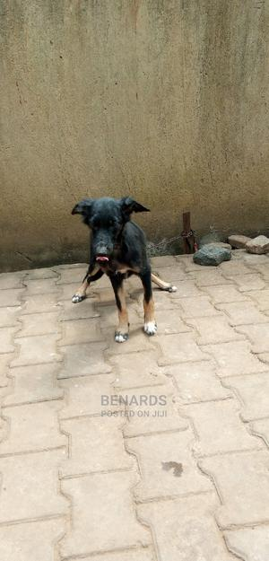 3-6 Month Male Purebred German Shepherd | Dogs & Puppies for sale in Central Region, Kampala