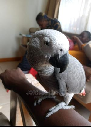 This Parrot Is Able to Talk   Birds for sale in Central Region, Kampala