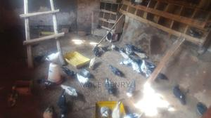 Healthy Pigeons   Birds for sale in Central Region, Wakiso