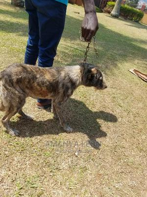 1+ Year Male Mixed Breed Dog   Dogs & Puppies for sale in Central Region, Kampala