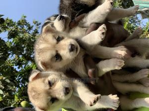 1-3 Month Female Purebred Siberian Husky | Dogs & Puppies for sale in Central Region, Wakiso