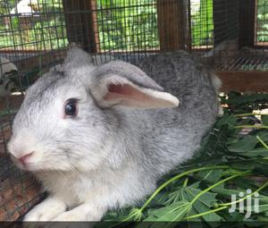Pure Breed Rabbits | Livestock & Poultry for sale in Central Region, Kampala