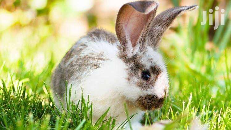 Pregnant Rabbits