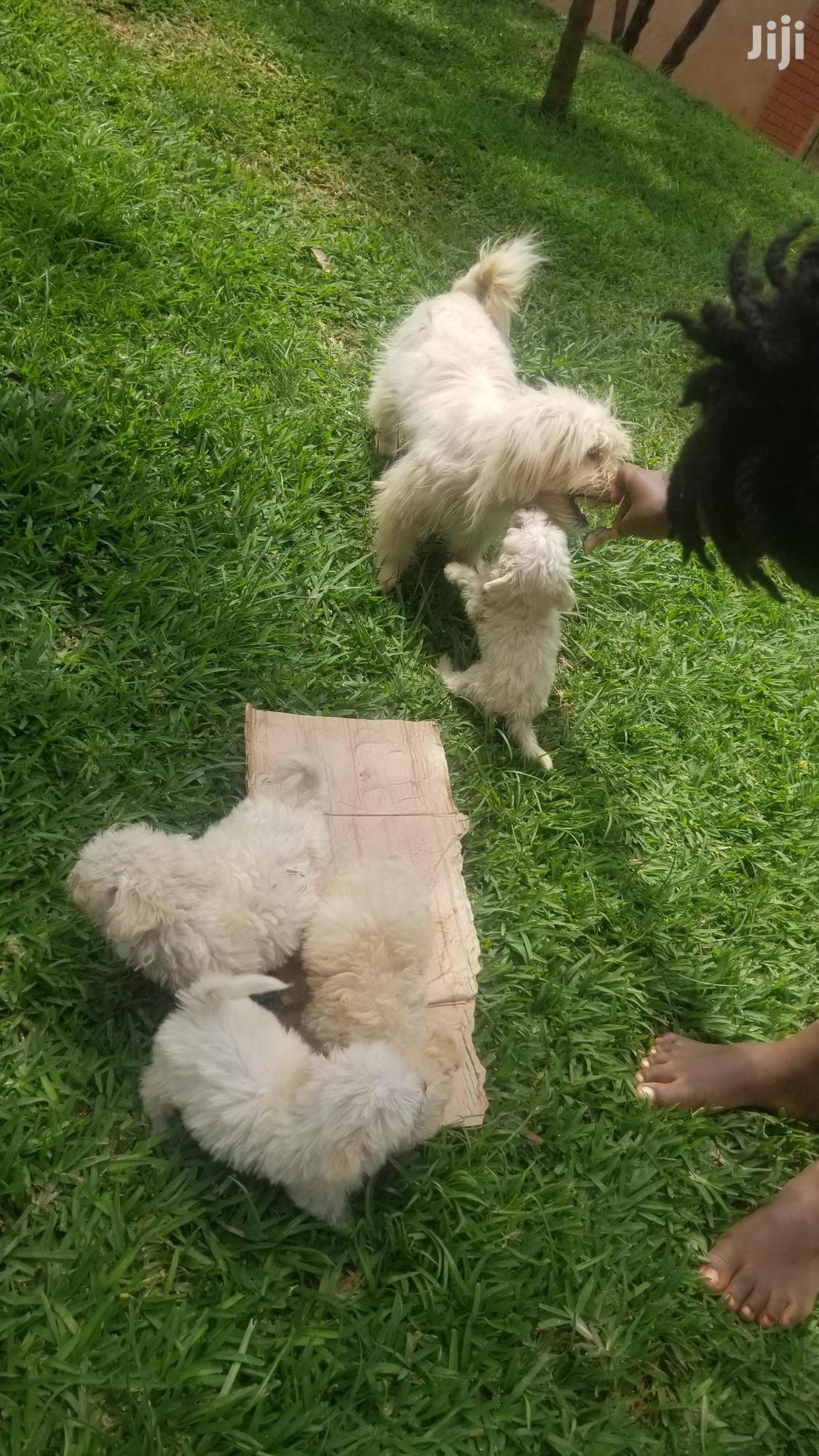 Young Male Purebred Maltese | Dogs & Puppies for sale in Kampala, Central Region, Uganda