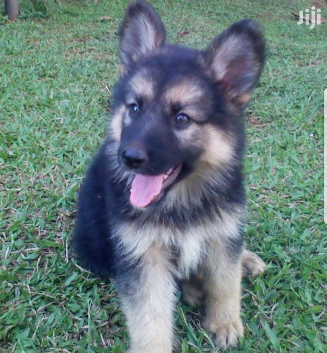 Young Male Purebred German Shepherd Dog | Dogs & Puppies for sale in Kampala, Central Region, Uganda