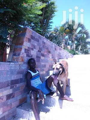Er Dog Shepherd   Other CVs for sale in Central Region, Kampala