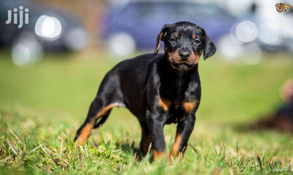 Dobberman Active Puppies | Dogs & Puppies for sale in Kampala, Central Region, Uganda